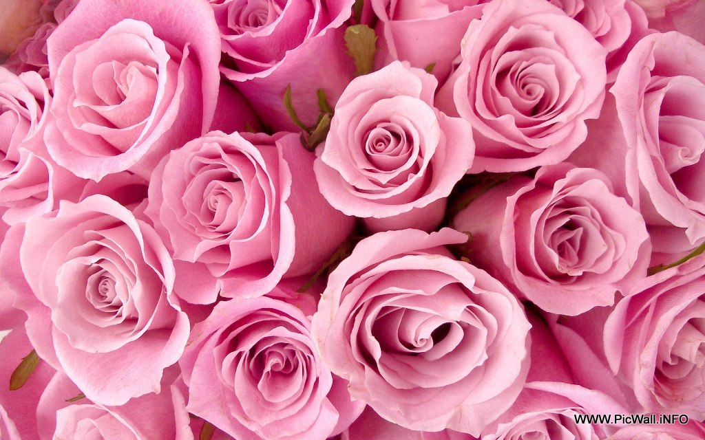 2 special pink roses hd wallpapers1